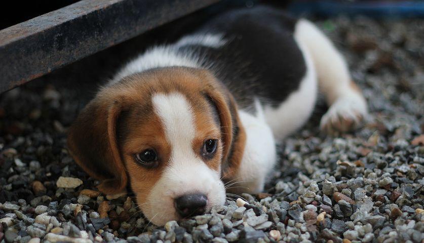 Download Floppy Ears Brown Adorable Dog - dog-2449668__480  Pic_155490  .jpg