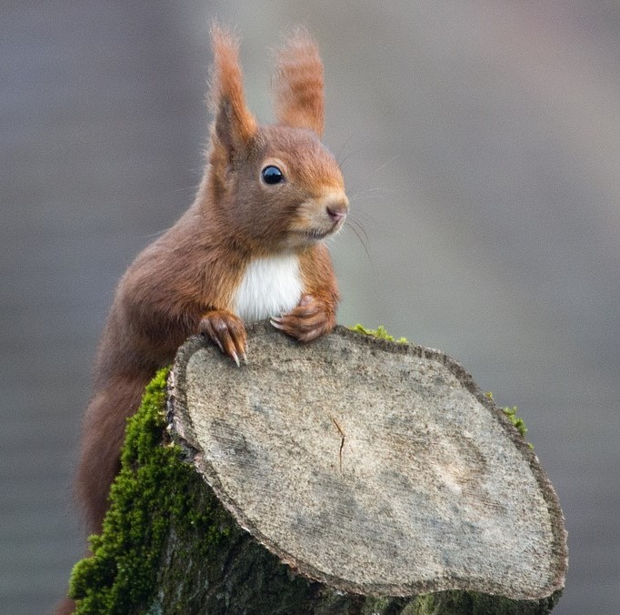 image description a little reddish brown squirrel hovering behind a mossy tree stump looking to the right it seems attentive and thoughtful
